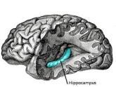 hippocampus
